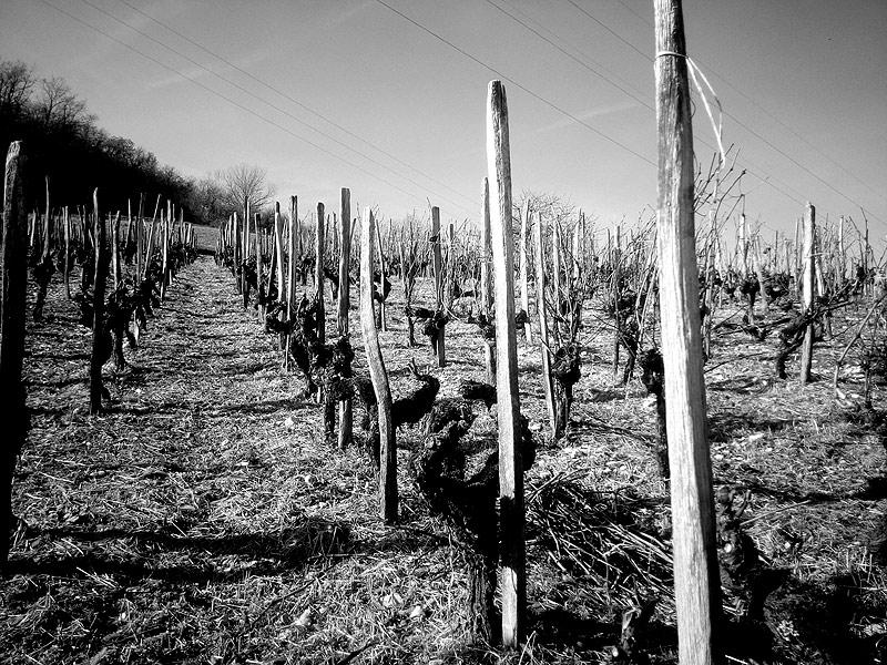 Vignes de l'Acot - VieillesMolette ©Cave Lambert